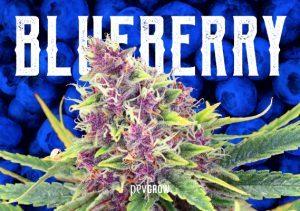 Blueberry, una obra de arte cannábica que continúa evolucionando