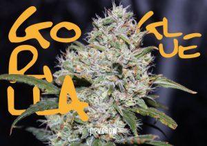 Gorilla Glue, la planta de cannabis más pegajosa y potente
