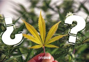 Does your cannabis plant have yellow leaves? We explain to you the reason and the solution