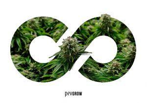 La revegetación de las plantas de Cannabis