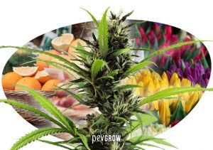 Le cime della cannabis sono frutti e non fiori