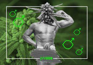 Piante di marijuana maschili, come identificarle, usi, differenze e peculiarità