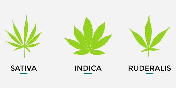 The genotypes of marijuana can be classified into three groups