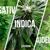 Tipos de plantas de marihuana