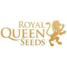 Royal Queen Seeds Regular