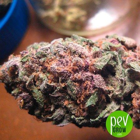 Purple Queen Royal Queen Seeds