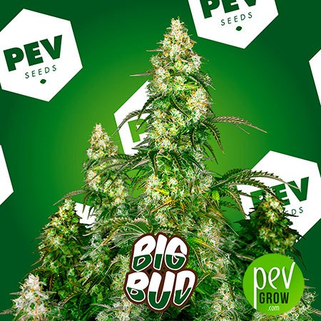 Big Bud PEV Bank Seeds